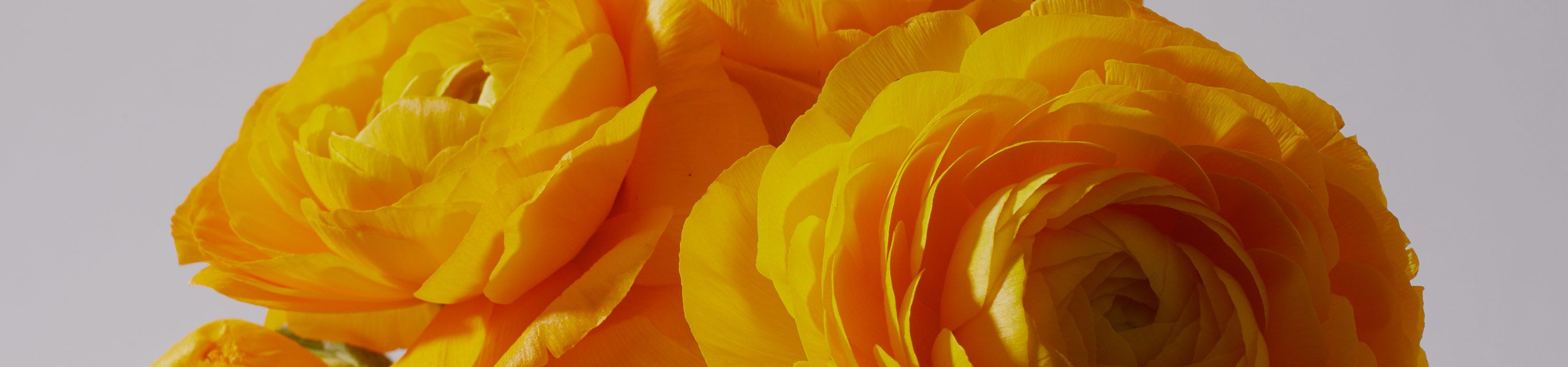 rununculus flowers