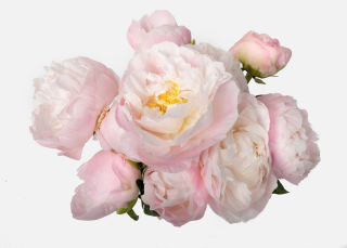 The Peony image number 2
