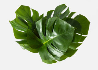 The Monstera image number 1