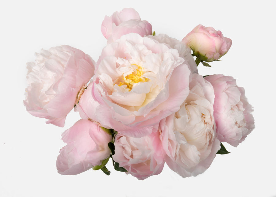 Full View of The Peony image number 2