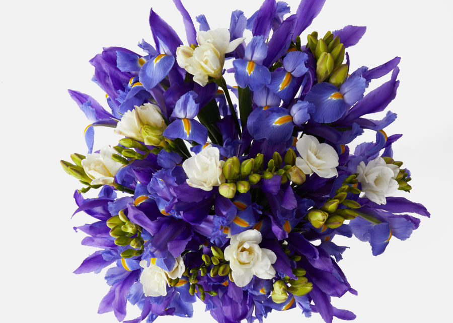 Double the Purple Iris image number 1